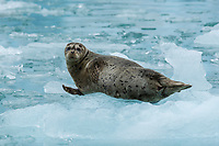 Harbor Seal resting on floating ice, Le Conte Glacier, Alaska.