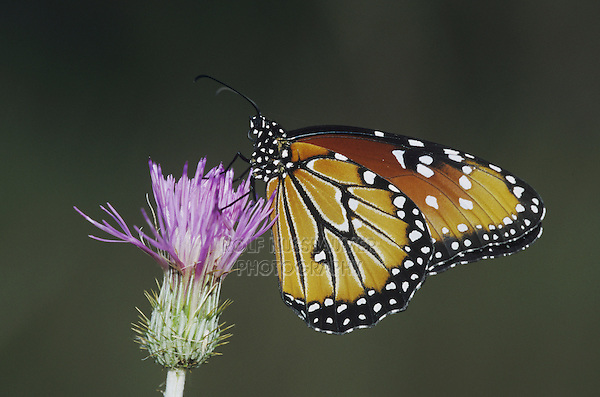 Queen Butterfly (Danaus gilippus), adult feeding on thistle, Sinton, Coastel Bend, Texas, USA