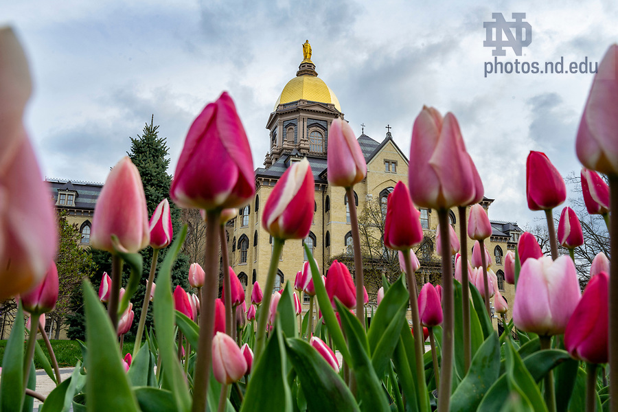 April 14, 2020; Tulips on the Main Quad. (Photo by Barbara Johnston/University of Notre Dame)