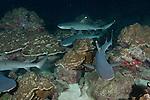 Cocos Island, Costa Rica; Whitetip Reef Sharks (Triaenodon obesus) pack hunting at night
