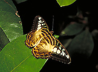 The Clipper butterfly (parthenos sylvia) wildlife, animals, insects, butterflies. Florida, Butterfly World.