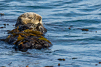 Sea Otter (Enhydra lutris) resting in kelp. California coast.