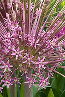 Allium schubertii ornamental onion in flower