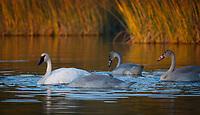 Trumpeter Swan family @ Anchorage's Potter Marsh near sunset