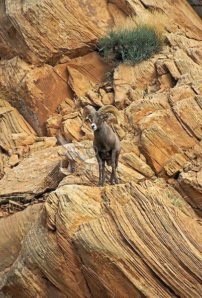 DESERT BIGHORN SHEEP/Nelson's Bighorn Sheep. Ram..This subspecies of the Rocky Mountain Bighorn Sheep has adapted to hot, dry climates by developing longer legs, lighter coats and smaller bodies..Autumn. Arches National Park, Utah. U.S.A..(Ovis canadensis nelsoni)