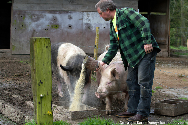 Tom (right), now a full grown pig, and a sow named Spyder receive their breakfast from farmer Ken Young in Edgewood, Washington on April 4, 2015. Young feeds them a mixture of corn, soybean meal, alfalfa, vitamins, minerals and salt.