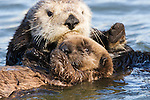 Sea Otter (Enhydra lutris) mother pulling pup by its nape, Elkhorn Slough, Monterey Bay, California