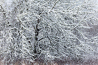 Tree in Winter Snow, Soos Creek Park, Kent, Washington, USA.