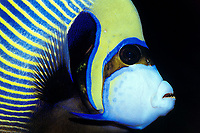 emperor angelfish, Pomacanthus imperator (c), showing teeth, Thailand