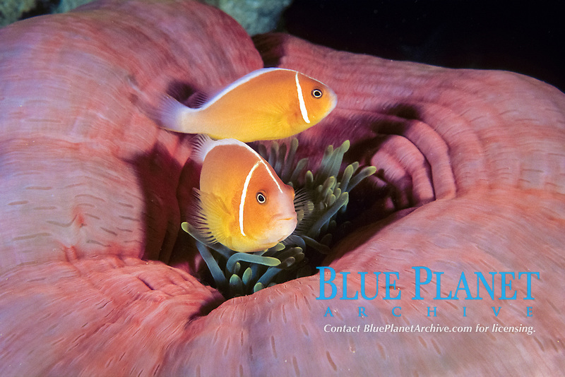 couple of pink anemonefish, Amphiprion perideraion, in a closed sea anemone, Heteractis magnifica, Palau (Belau), Micronesia, Pacific Ocean