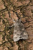 Großkopf-Rindeneule, Großkopf, Aueneule, Acronicta megacephala, Apatele megacephala, Subacronicta megacephala, Poplar Grey, La Noctuelle mégacéphale, Eulenfalter, Noctuidae, noctuid moths, noctuid moth
