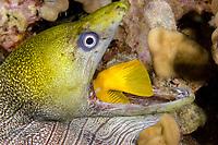 undulated moray eel or leopard moray, Gymnothorax undulatus, swallows yellow tang, Zebrasoma flavescens, caught while eel was hunting at night Keahole, Kona, Big Island, Hawaii, USA, Pacific Ocean 3rd in sequence of 4