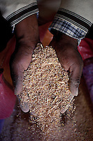 A picture dated August 19 2011 shows the hands of Esteban Quelima holding quinoa in the region of Isla del Sol, in La Paz, Bolivia.  2013  was declared the international year of Quinoa by the UN.  Bolivia is the main producer of quinoa in the world.