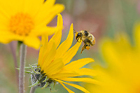 Bumble bee and balsamroot flowers.  Wyoming.  July.