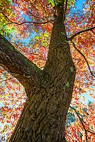 Oxydendron arboreum - Sourwood tree; Arnold Arboretum
