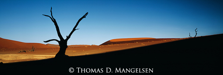 A camelthorn tree is silhouetted against the sands of the Namib desert in Naukluft National Park, Namibia.