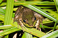 Vaillant's Frog, Lithobates vaillanti (formerly Rana vaillanti), at La Selva Biological Station, Costa Rica