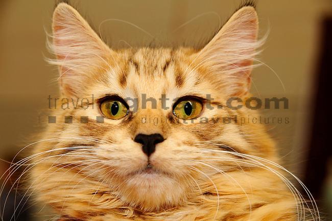 ©Paul Trummer, Mauren / FL, www.travel-lightart.com, www.digital-photos.eu, animal, animalia, animals, cat, catkins, cats, domestic cat, domestic cats, felis catus, living being, mammal, mammals, pet cat, pet cats, predator, predators, vertebrate, vertebrates, warm blooded animals, warm blooded-animal, Fauna, Felis, Fissipedia, Hauskatze, Hauskatzen, Kater, Landraubtier, Landraubtiere, Lebewesen, Mammalia, Rassekatze, Säuger, Säugetier, Säugetiere, Tierbild, Tierbilder, Vertebrata, Warmblüter, Wirbeltier, Wirbeltiere, Haustier, Haustiere, Domestic Animals, Norwegische Waldkatze, Norwegian Forest Cat