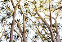 Sunlight sparklers - foliage leaf clusters of Aloe barberae, Tree Aloe Lotusland