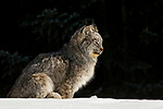 Canada Lynx (Lynx canadensis) eleven month old kitten in winter, Manitoba, Canada