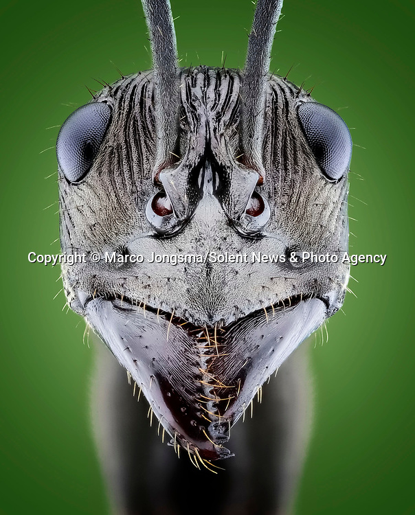 Pictured: Diacamma ant.<br /> <br /> A series of mesmerising close-up images of insects make them look like aliens.  Photographer Marco Jongsma captured the macro shots of a range of bugs including a cuckoo wasp and a crab spider.<br /> <br /> The pictures detail the intricate features and patterns of the insects - from the bulging yellow eyes of a tiger beetle to the delicate hairs on a honey bee.  The 34-year-old used a macro lens and a microscope to picture the insects in a laboratory at his home in Lemmer, the Netherlands.  SEE OUR COPY FOR DETAILS.<br /> <br /> Please byline: Marco Jongsma/Solent News<br /> <br /> © Marco Jongsma/Solent News & Photo Agency<br /> UK +44 (0) 2380 458800