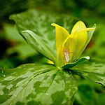 Yellow Trilllium, Great Smoky Mountains National Park, TN, USA