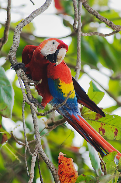 Scarlet Macaw, Ara macao, adult in Almond tree, Tarcol, Central Pacific Coast, Costa Rica, Central America, December 2006