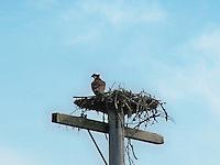 Osprey in nest on the shore of Cross Lake Alberta.