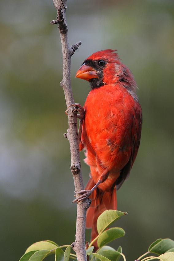 Northern Cardinal set.