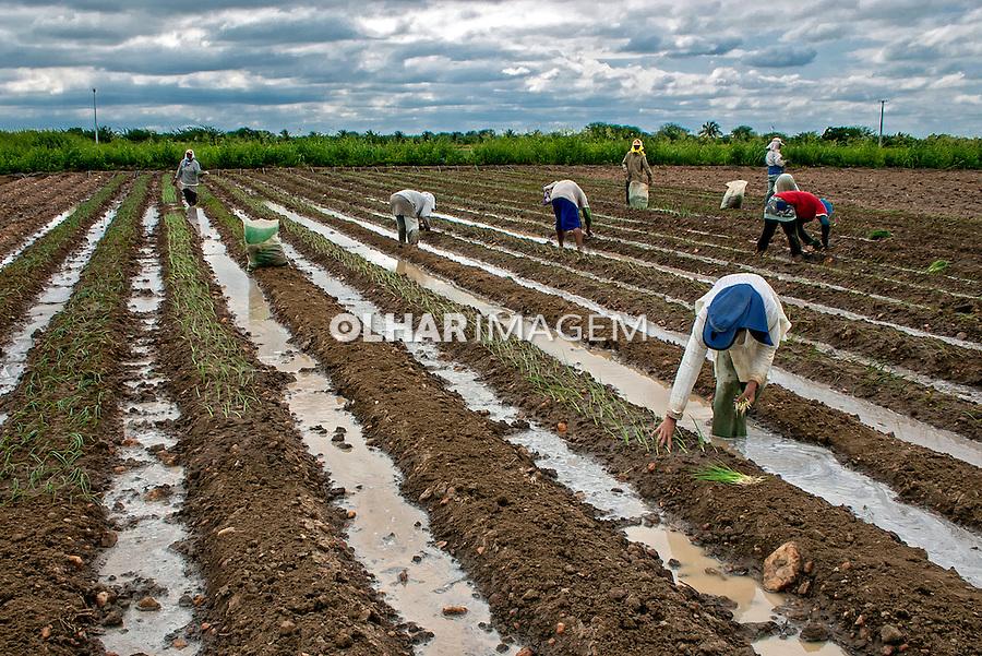 Plantacao de cebola. Paulo Afonso. Bahia. 2009. Foto de Ubirajara Machado.