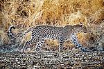 Botswana, Central District, leopard (Panthera pardus)
