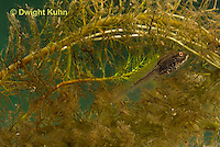 FR14-503z  Northern Leopard Frog Tadpole camouflaged in water plants, Lithobates pipiens, formerly Rana pipiens