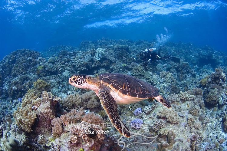 Green turtle,  Chelonia mydas, and diver, Layang Layang atoll, Sabah, Borneo, Malaysia, South China Sea, Pacific Ocean