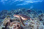Green turtle,  Chelonia mydas, and diver, Layang Layang atoll, Sabah, Borneo, Malaysia, South China Sea, Pacific Ocean
