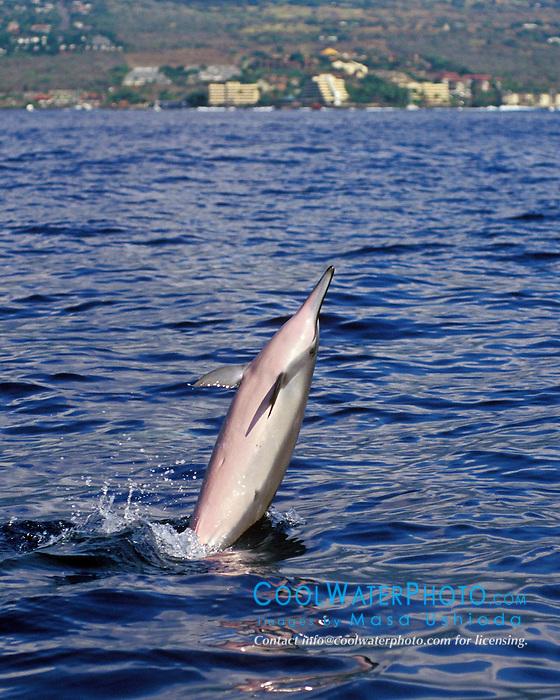 Long-snouted Spinner Dolphin, Stenella longirostris, tail-walking, Kailua Bay, Kona, Big Island, Hawaii, Pacific Ocean