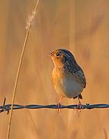 Grasshopper sparrow in November