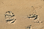 Footprints of spearlike inner claw of a Southern cassowary. Southern cassowary (Casuarius casuarius) also known as double-wattled cassowary, Australian cassowary or two-wattled cassowary