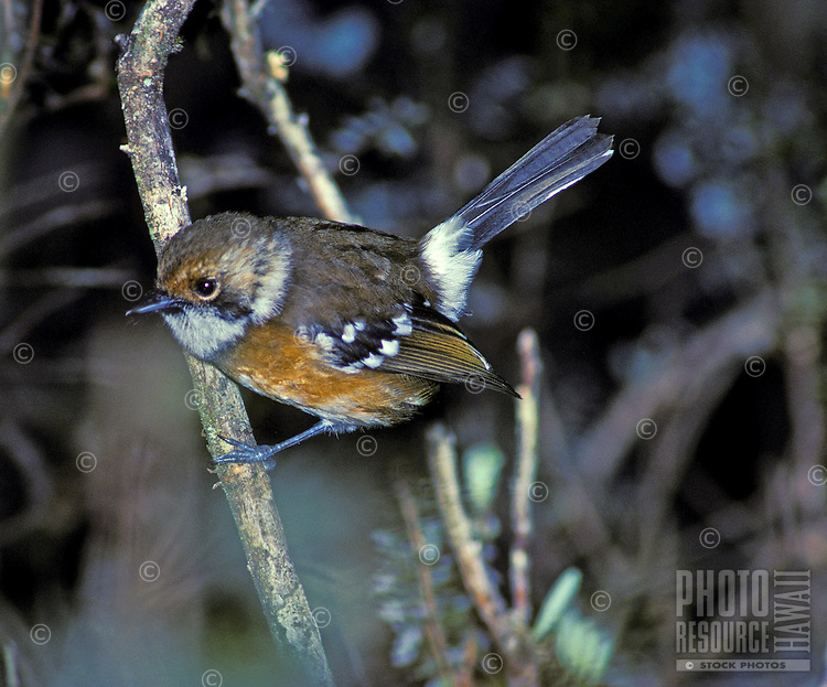 The native forest bird elepaio, (chasiempis sandwichensis). This subspecies is only found on the Big Island of Hawaii.