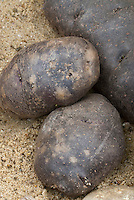Potatoes 'Black Queen' Solanum with dark skins