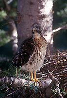 Young Cooper's hawk spends time on branches away from nest before it can fly, Jemez Mountains, New Mexico