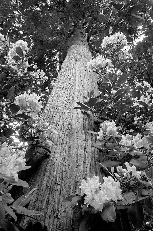 Rhododendron and Cedar tree. Crystal Springs Rhododendron Garden. Portland, Oregon