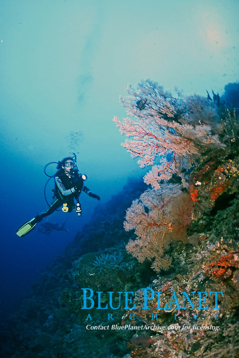 scuba diver with flashlight in seascape of red gorgonian soft coral on a reef wall, Philippines, Pacific Ocean