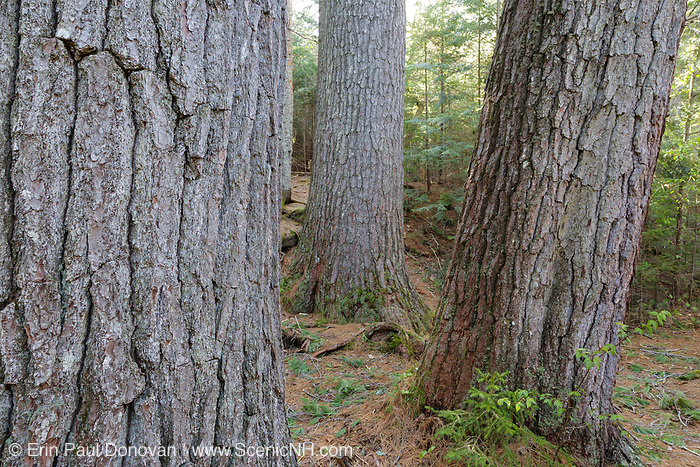 Enormous White Pines, on the side of the Mad River, along the Big Pines Path in the White Mountains, New Hampshire USA. During the logging era, the Mad River was used for log drives.