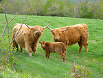 Scottish Highland Cattle Family in New Hampshire