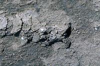 Europäische Maulwurfsgrille, Grabspur im Boden, Spur, Gemeine Maulwurfsgrille, Gryllotalpa gryllotalpa, European mole cricket, mole cricket, Maulwurfsgrillen, Gryllotalpidae, mole crickets