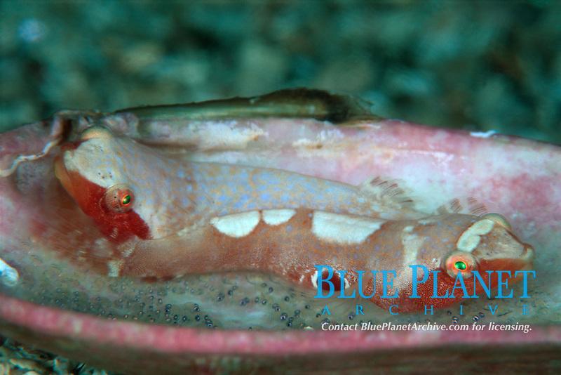 Male Two spot clingfish, Diplecogaster bimaculatus, Spawning, Courtship, Behavior, ÿygarden, Hordaland, Norway, North Atlantic Ocean