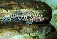 Rotmaul-Grundel, Rotmaulgrundel, Grundel, Gobius cruentatus, Red-mouth Goby, Red-mouthed goby