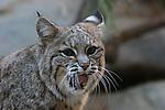 bobcat yawning
