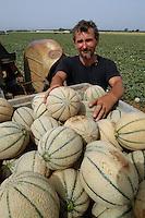 AGRI Raccolta di meloni. Melons harvest 1