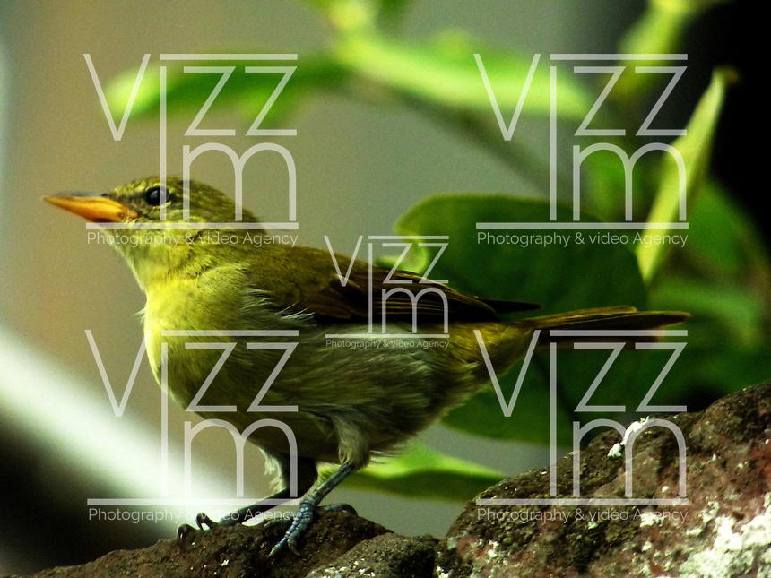CALI - COLOMBIA, 30-06-2016: Hemitauphis Guira Tanager, especie de ave presente en el norte de Cali. / Hemitauphis Guira Tanager, bird species present in north of Cali Photo: VizzorImage / Dario Ramirez / Cont.